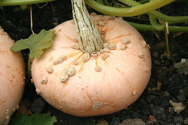 Comment semer et cultiver le potiron ?