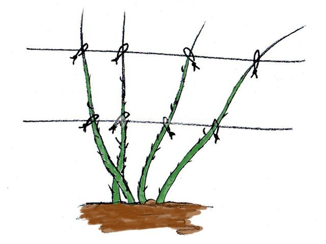 Framboisier plantation culture et palissage - Comment fixer un rosier grimpant au mur ...