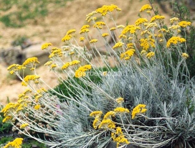 Immortelle helichrysum plantation culture et esp ces for Plante immortelle