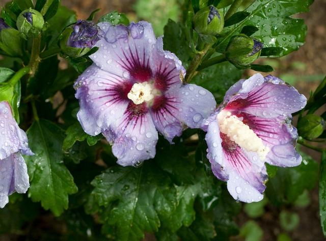 Hibiscus syriacus alth a mauve en arbre for Hibiscus entretien exterieur