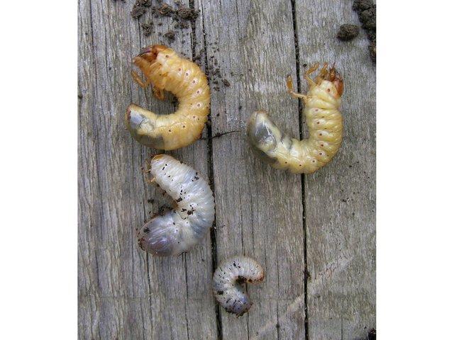 Ver blanc ou larve de hanneton - Limace dans la maison ...