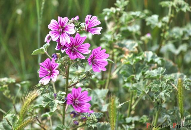 Mauve : semis, culture et variétés