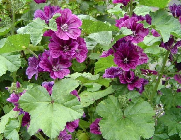 Fleurs Mauves Vivaces