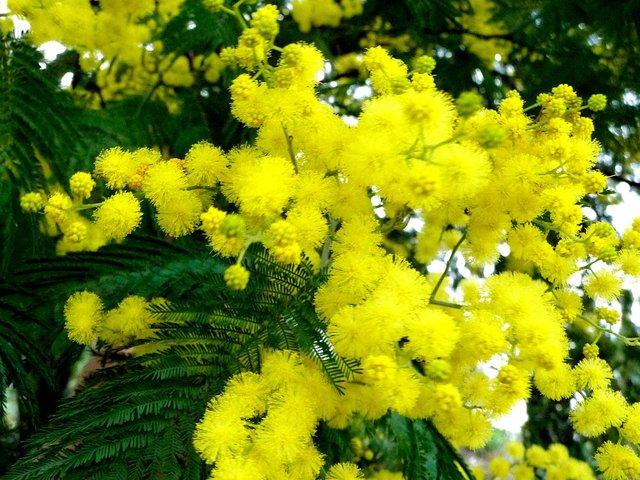 Mimosa : un arbuste plein d'atouts