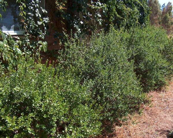 Myrte for Arbuste en anglais