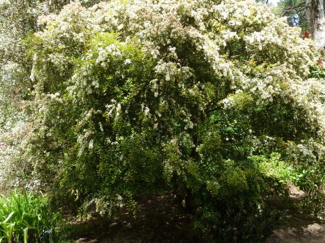 Myrte : sol, plantation et hivernage