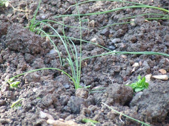Quand planter des poireaux - Comment planter des poireaux ...