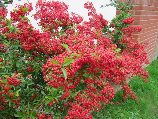 Pyracantha : fleurs parfumées, baies décoratives et feuillage persistant