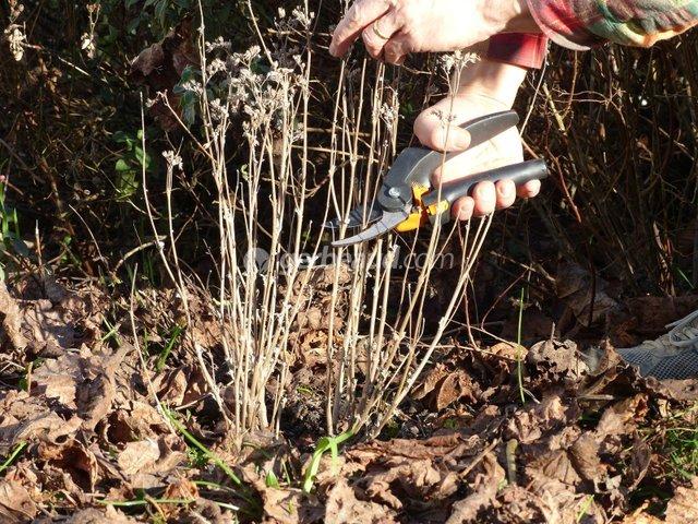 Tailler les arbustes à floraison d'été : quand, comment, quelles espèces