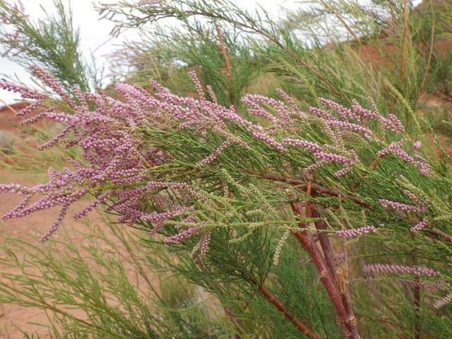 Tamaris : un petit arbuste aérien facile à cultiver
