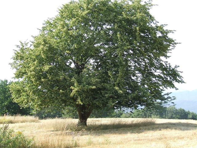 arbre ombre croissance rapide