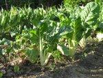 Des légumes qui poussent vite