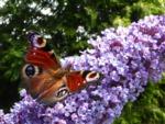 Plantes exotiques et biodiversité font-elles bon ménage ?