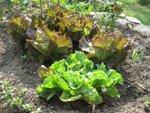 Salade : semis, culture et récolte