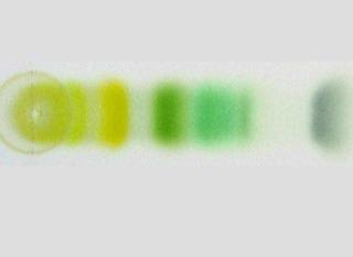 Pigments chlorophylliens séparés par chromatographie