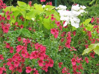 Diascia hybride (rose)
