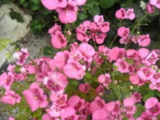 Diascia : semis, culture et conseils d'entretien