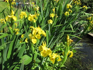Iris pseudoacorus