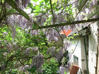 Glycine grimpant sur une pergola - Jardin citadin