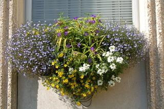 Diascia dans une jardinière (à doite et à gauche)