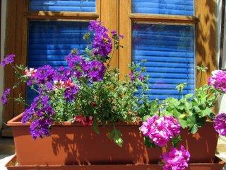 Jardinière de géraniums et verveine