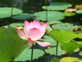 Lotus (Nelumbo nucifera)