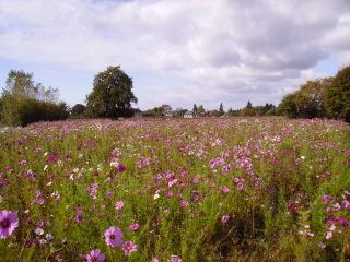 Prairie fleurie (cosmos)