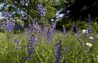 Zone de prairie fleurie : sauge et leucanthème