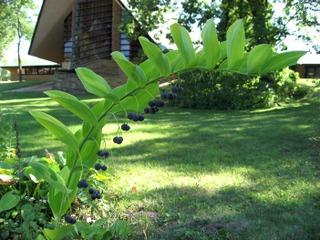 Sceau de salomon, Polygonatum : fruits