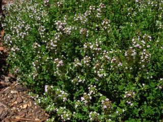 Thym citron en fleurs (Thymus x citriodorus)