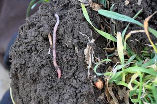Ver de terre dans un sol aéré, perméable