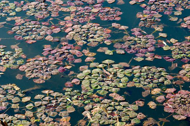 Châtaigne d'eau (Trapa natans) (Les plus belles plantes aquatiques)