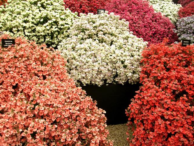 Différentes couleurs de Diascias