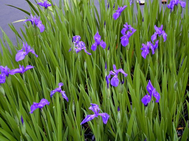 Iris laevigata (Les plus belles plantes aquatiques)