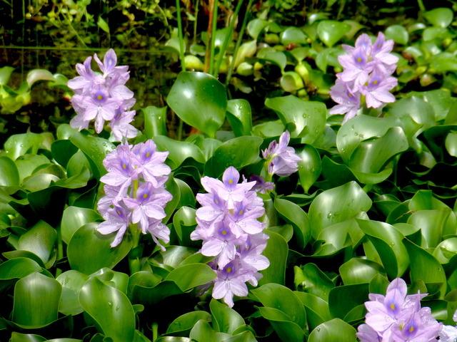 Jacinthe d'eau (Eichhornia crassipes) (Les plus belles plantes aquatiques)