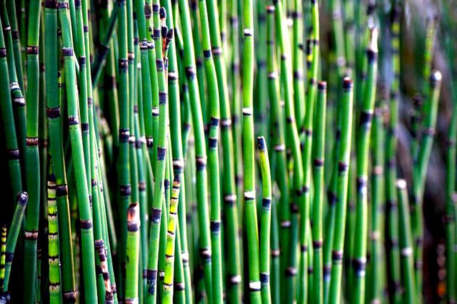 Prêle aquatique (Equisetum fluviatile) (Les plus belles plantes aquatiques)