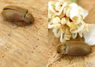 Byturus tomentosus : adulte