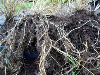 Rhizomes de chiendent