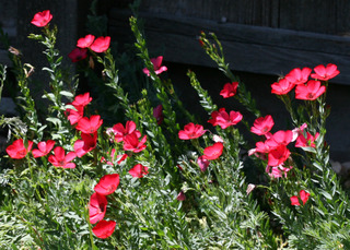 Lin à grandes fleurs, Linum grandiflorum