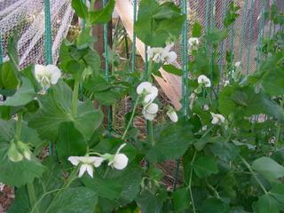 Pois gourmands en fleur sous un filet anti-insectes