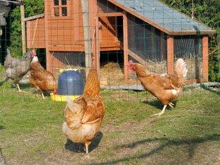Poulailler et poules