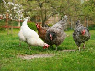 Poules dans le jardin