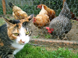 Poules à l'abri du chat dans le poulailler