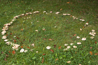 Champignons disposés en cercle