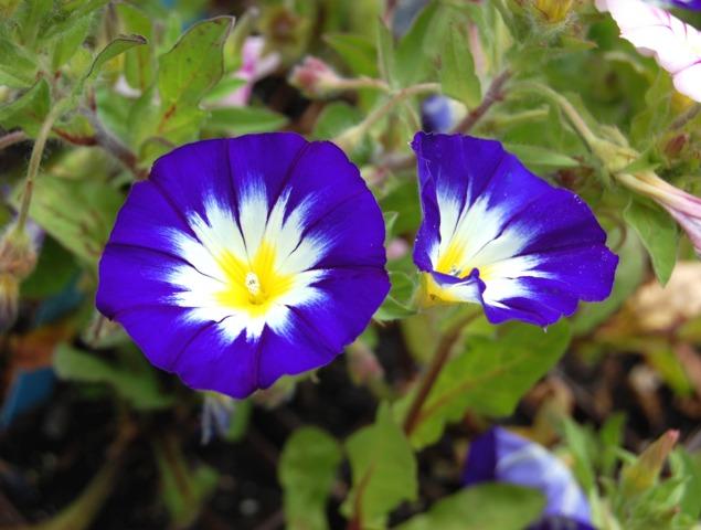 belle de jour fleur grimpante