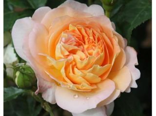 Rose Amélie Nothomb® - Delbard