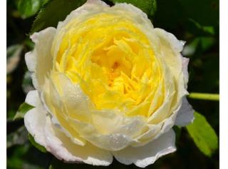 Rose Amnesty International® - Delbard