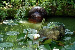 Nénuphar (Nymphea) dans un bassin