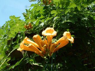 Bignone jaune (Campsis radicans 'Flava')