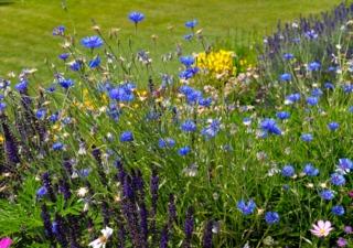 Centaurea cyanus, bleuet des champs